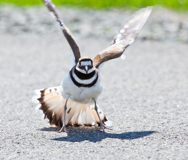 Killdeer bird warding off danger